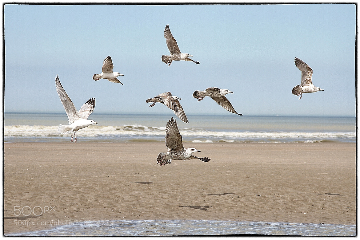Photograph Seagul at the beach by Koen Domus on 500px
