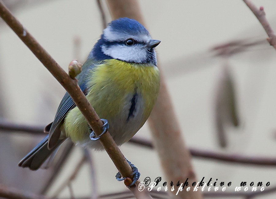 Photograph Blue Tit by perspektive wono on 500px