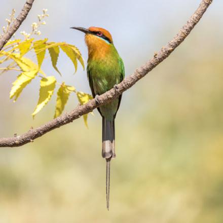 Böhms Bee-eater (Merops boehmi)