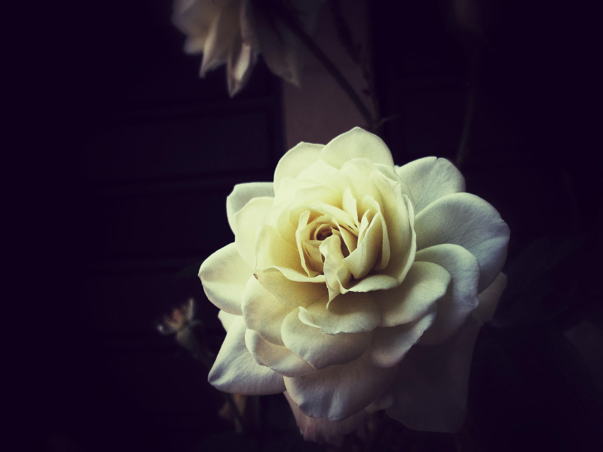 Photograph White Rose by Mau  on 500px