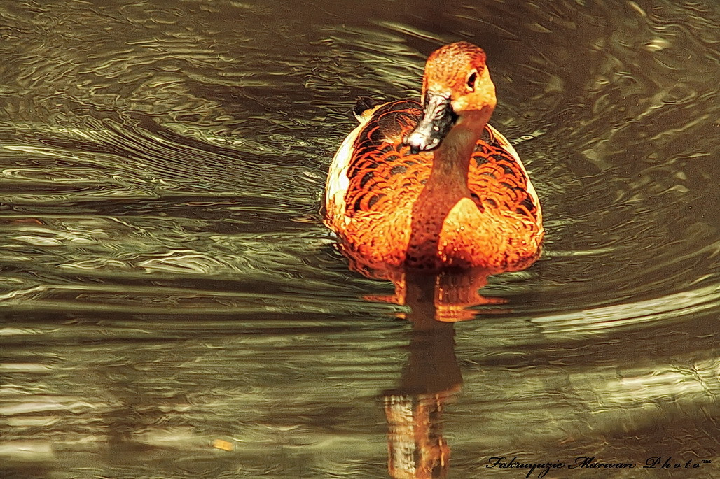 Photograph Duck by Fakruyuzie Marwan on 500px