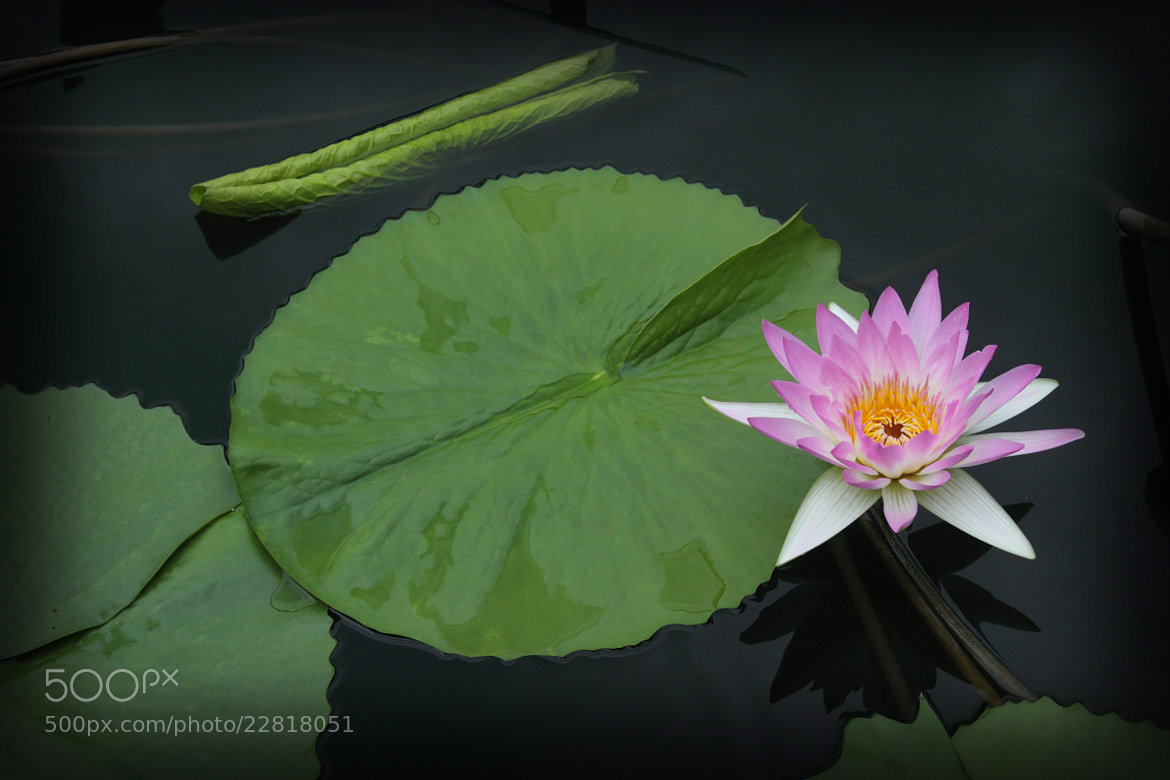Photograph water lilly by Johnson Li on 500px