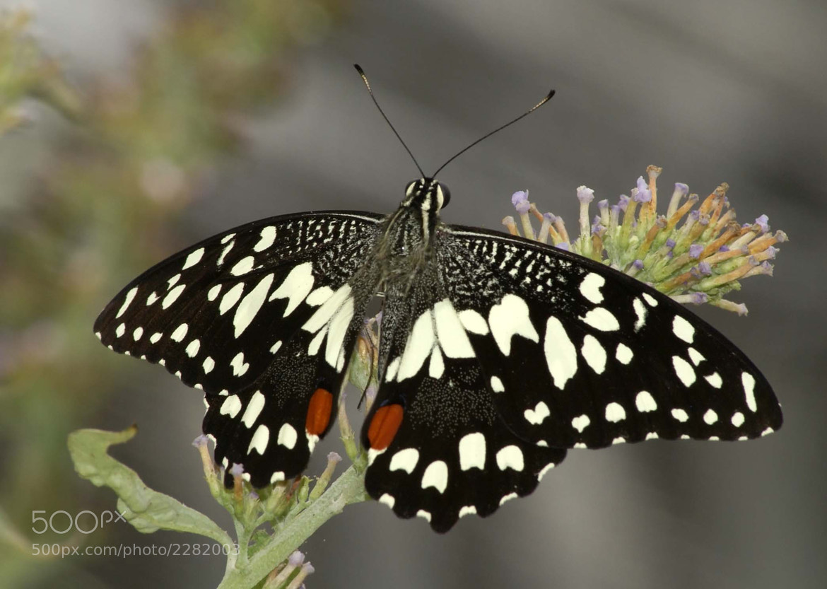 Photograph Papilio demoleus by Aleksey Cheplenko on 500px