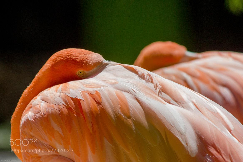 Photograph Flamingo Reflexion by Alan Gorinstein on 500px