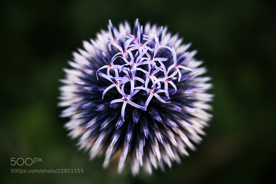 Photograph Echinops by Nicolai Bönig on 500px