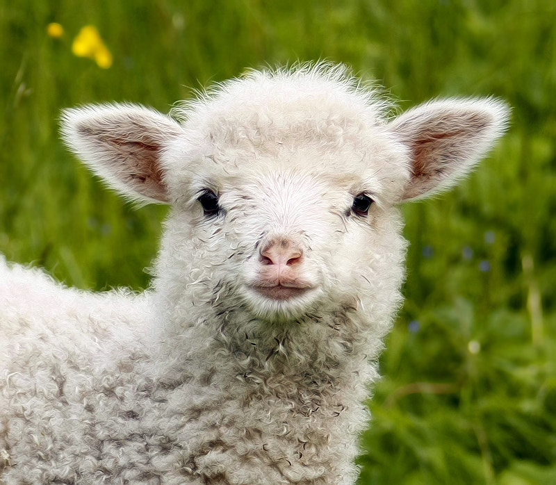 Photograph Lamb by Tinx on 500px