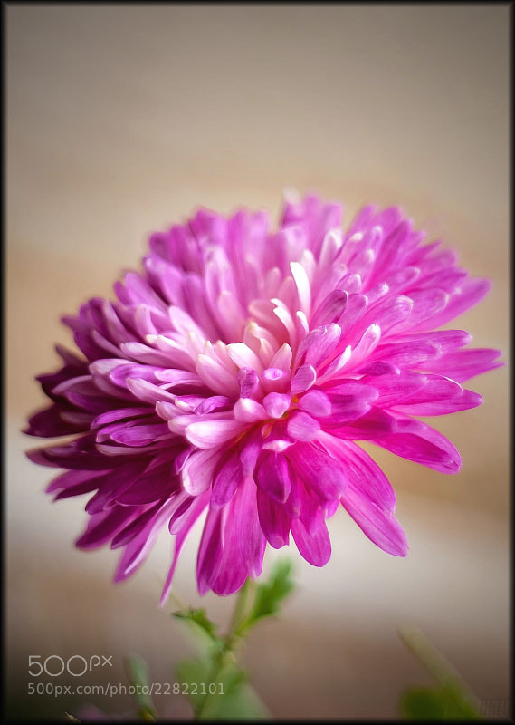 Photograph chrysanthemum  by Merl Antal György on 500px