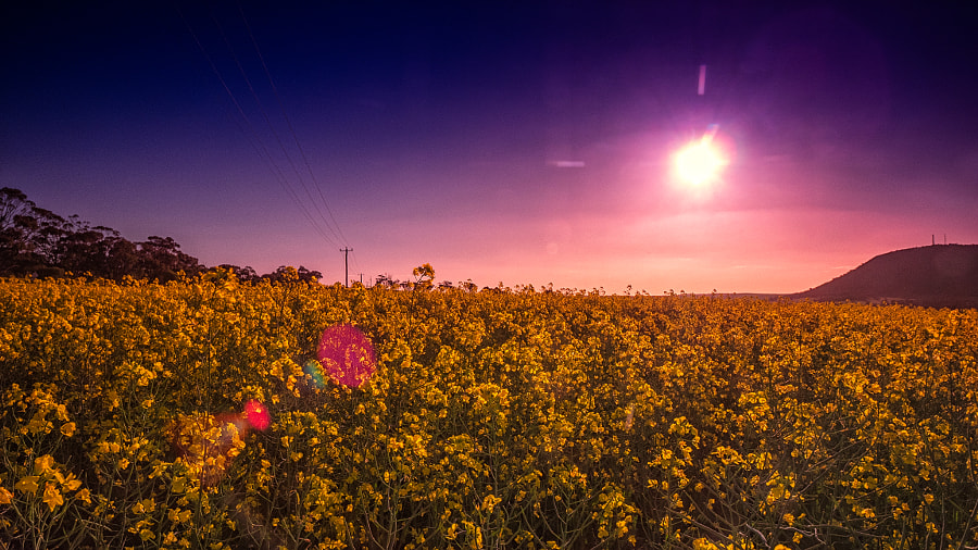 Canola Sunset by Paul Amyes on 500px.com
