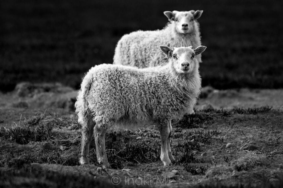 Icelandic Sheeps de Iñaki MT en 500px.com