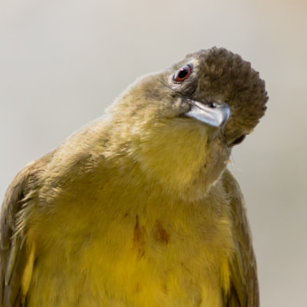 Yellowbellied Greenbul (Chlorocichla flaviventris)