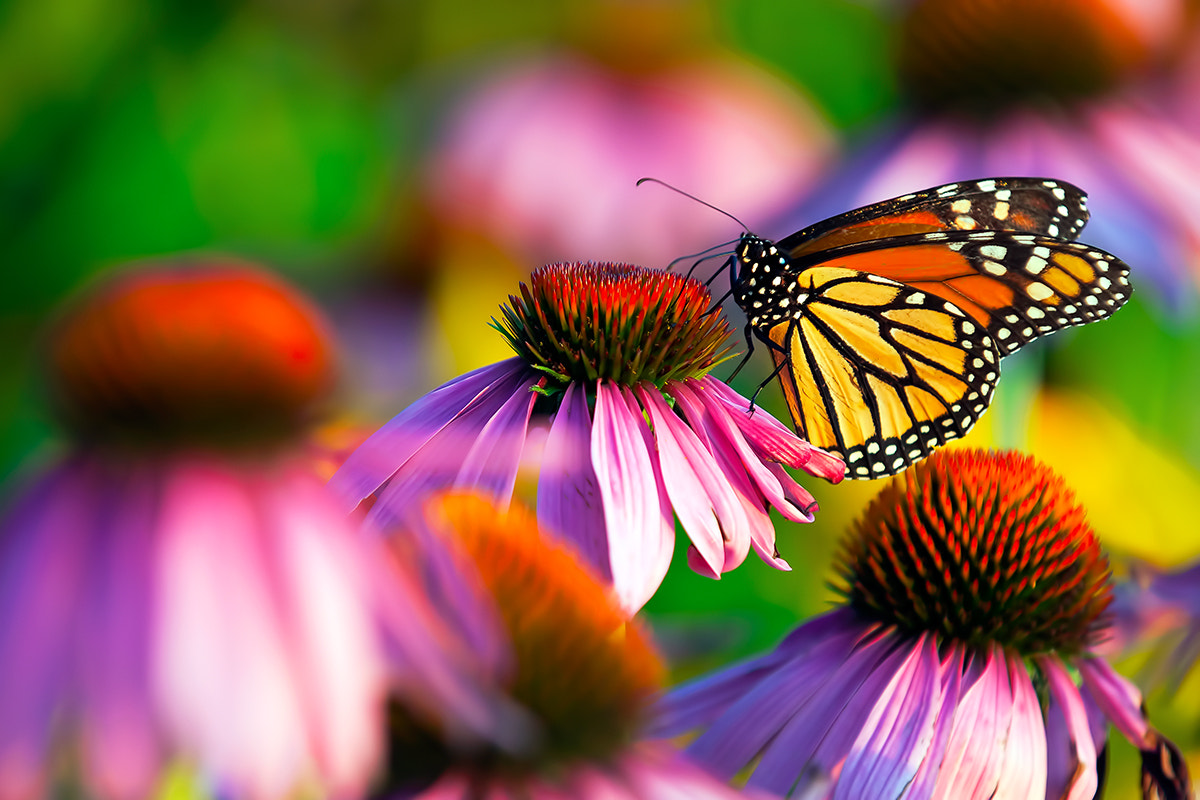 Photograph Monarch Butterfly by Marc Bernard on 500px
