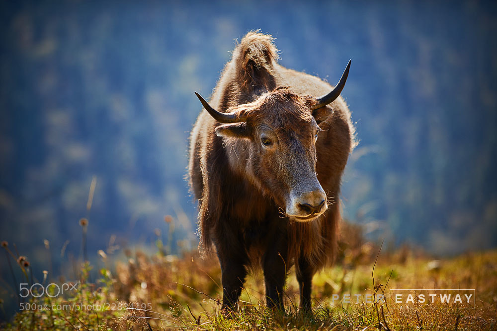 Photograph Yak by Peter Eastway on 500px