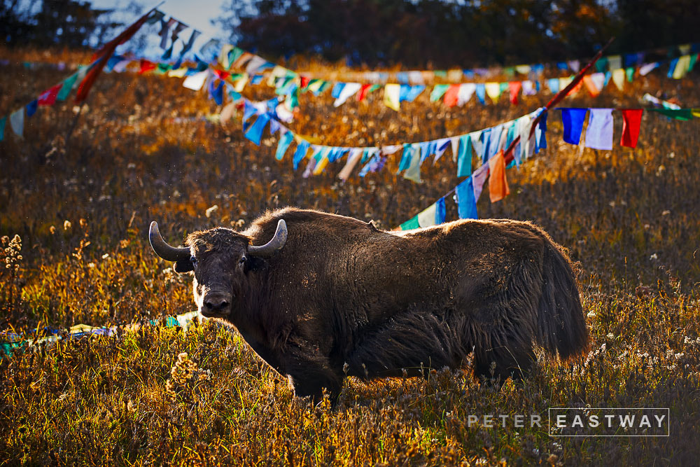 Photograph Yak 2 by Peter Eastway on 500px