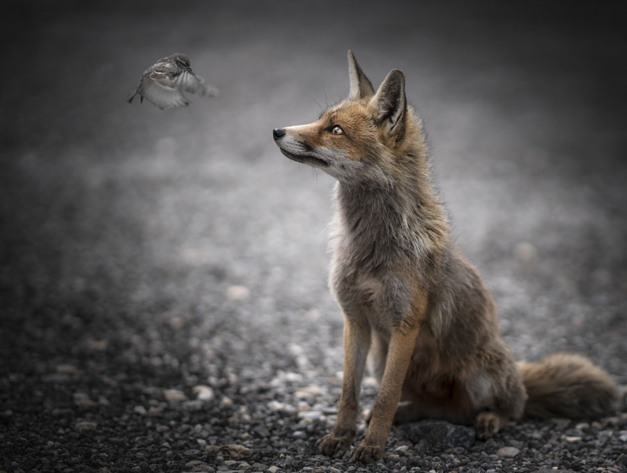 *** THE FOX ***, автор — Georg Haaser на 500px.com