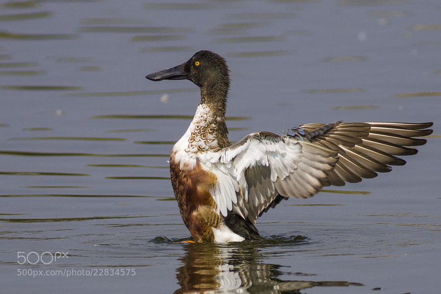 Photograph NORTHERN SHOVELER by Iqbal Siddiqui on 500px