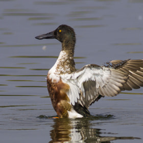 NORTHERN SHOVELER by Iqbal Siddiqui (mywaytonature)) on 500px.com