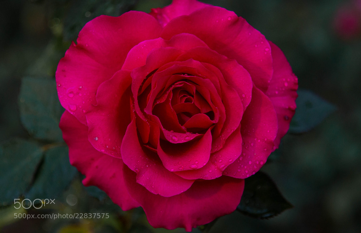 Photograph The Rose V by Erik Anderson on 500px