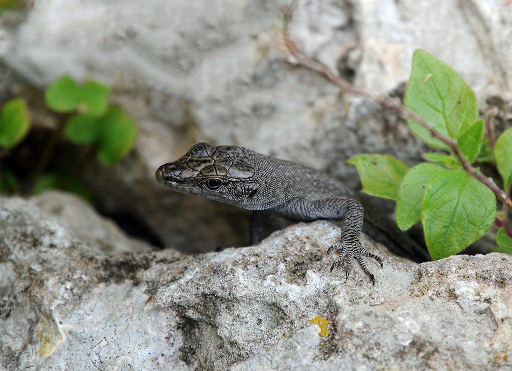 Photograph Curious Lizard by Stepan Boev on 500px
