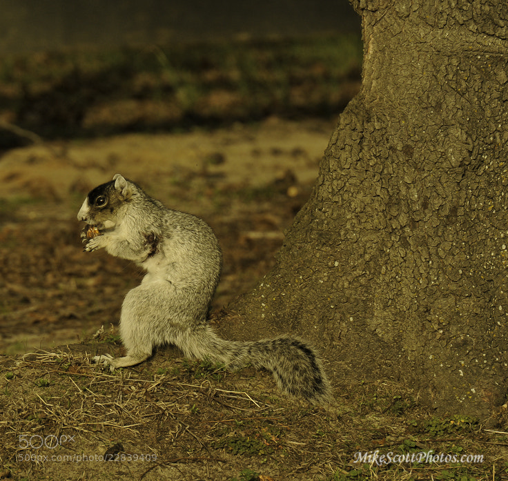 Photograph Fox Squirrel by MikeScottPhotos  on 500px