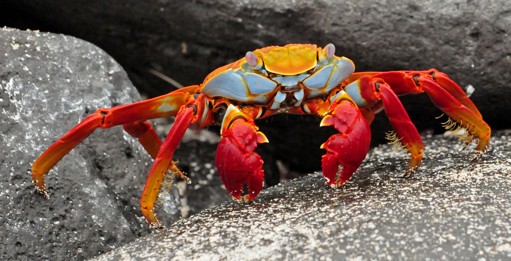 Photograph Sally Lightfoot Crab by janetliz on 500px