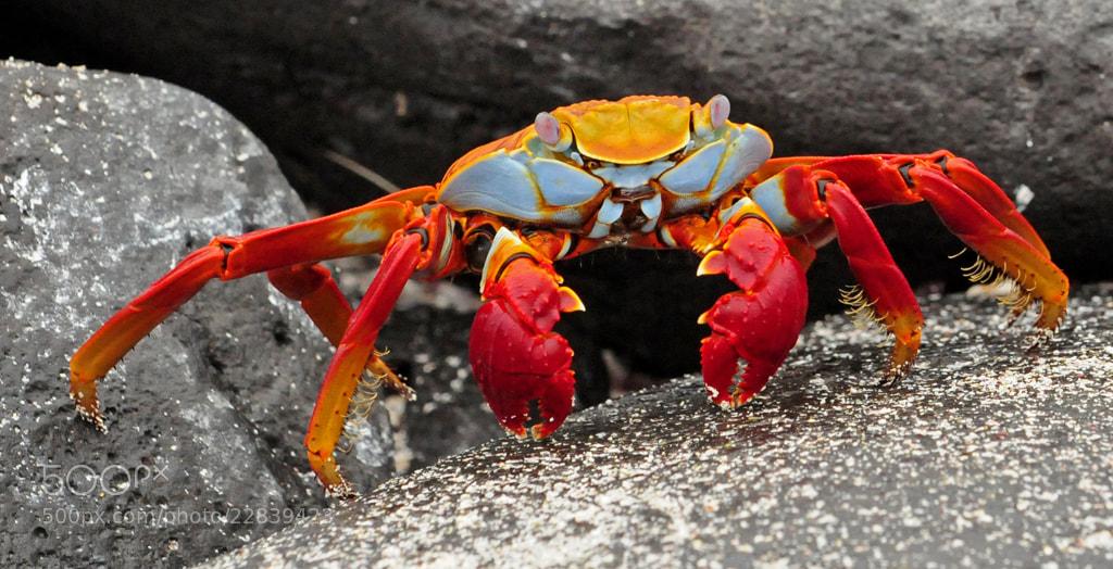 Photograph Sally Lightfoot Crab by janetliz on 500px