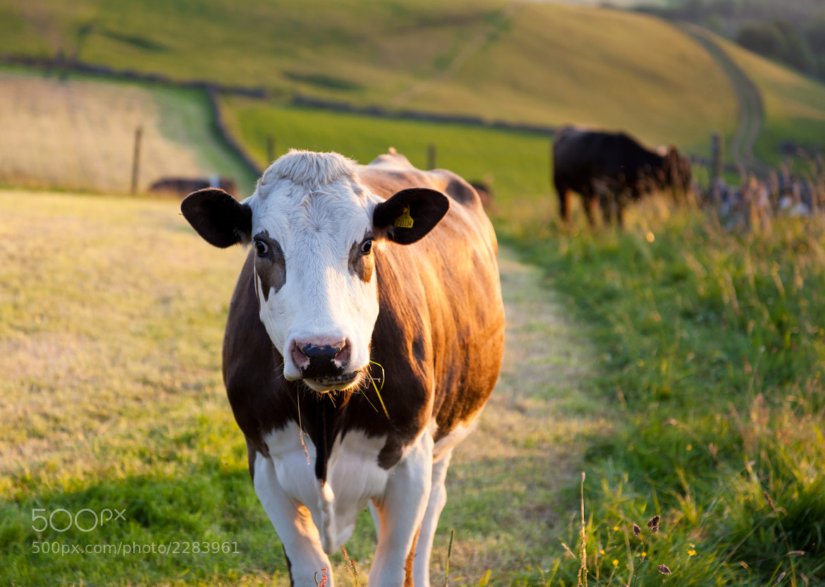 Photograph Cattle in The Peaks II, The Peaks District, UK. by Stanton Champion on 500px