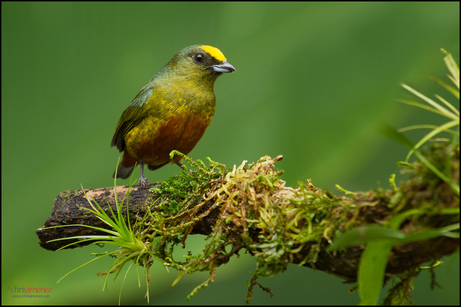 Photograph Olive-backed,Euphonia by Chris Jimenez on 500px