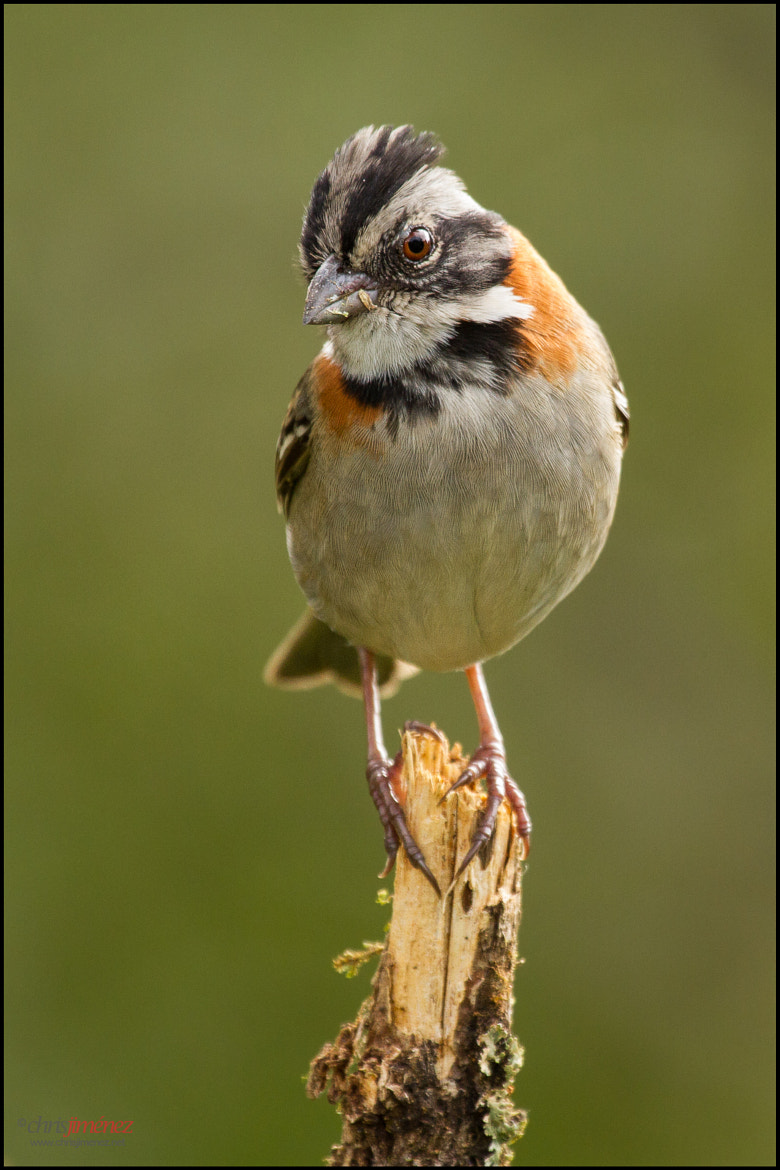 Photograph Rufous-collared Sparrow by Chris Jimenez on 500px