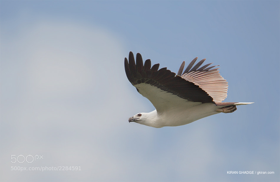 Photograph White Bellied Sea Eagle by Kiran Ghadge on 500px