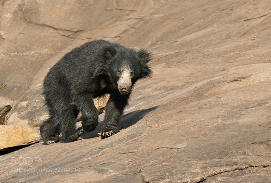 Young Sloth Bear, finds the slopes of his home a little difficult. Taken in Daroji Sloth Bear Sanctuary, India, 1st April 2011