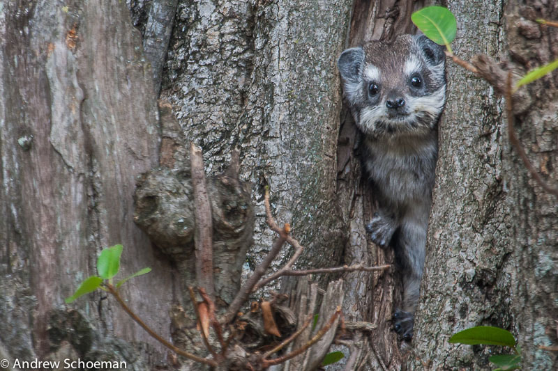 Photograph Peeping Hyrax! by Andrew Schoeman on 500px