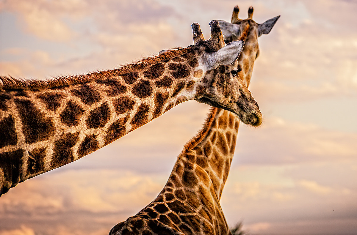 Photograph Giraffes by Tommaso Maiocchi on 500px