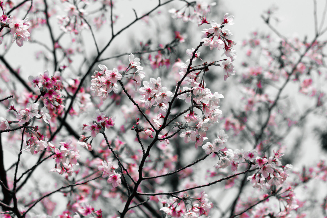 Photograph Sakura Forest by Tim Grey on 500px