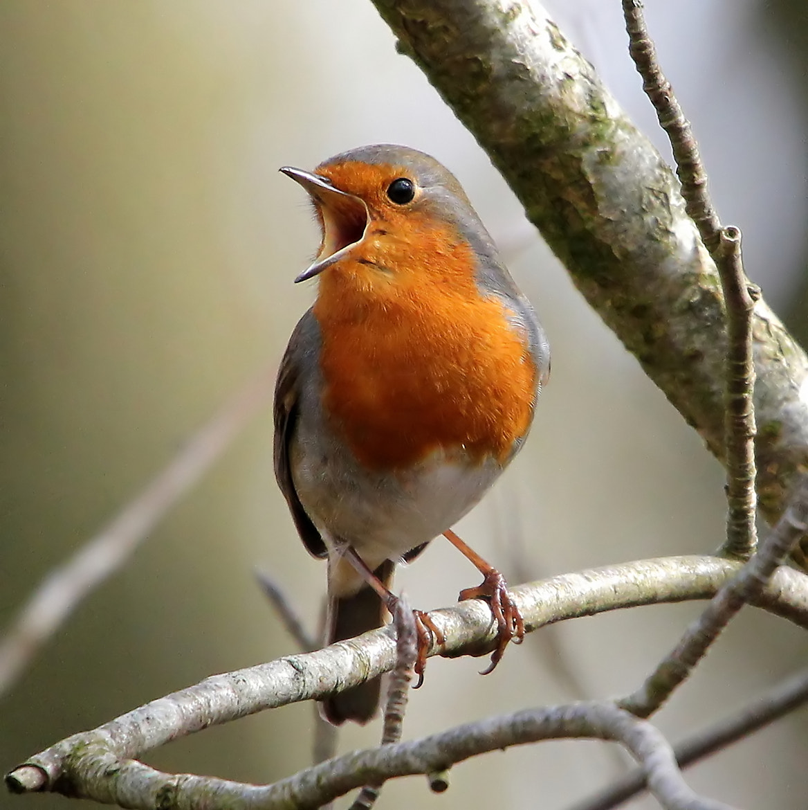 Photograph Robin Passion by Ger Bosma on 500px