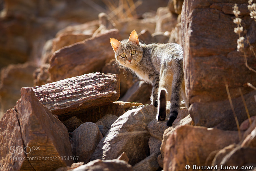Photograph African Wildcat by Will Burrard-Lucas on 500px