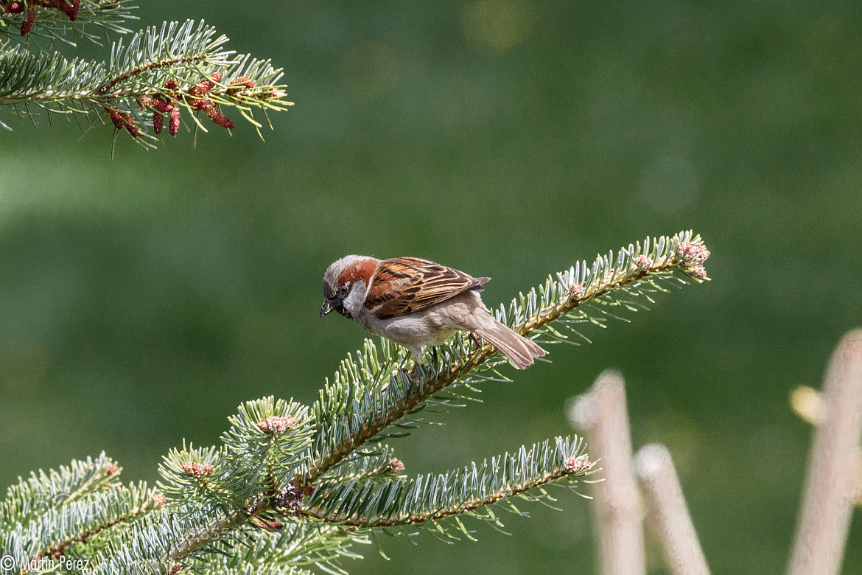 Photograph sparrow by Martín Pérez on 500px