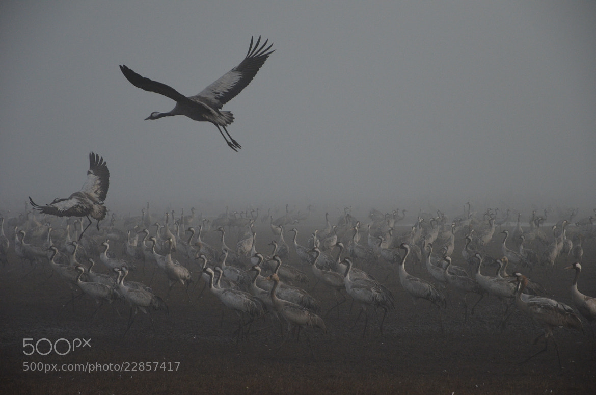 Photograph Cranes in the mist. by Liora Levin on 500px