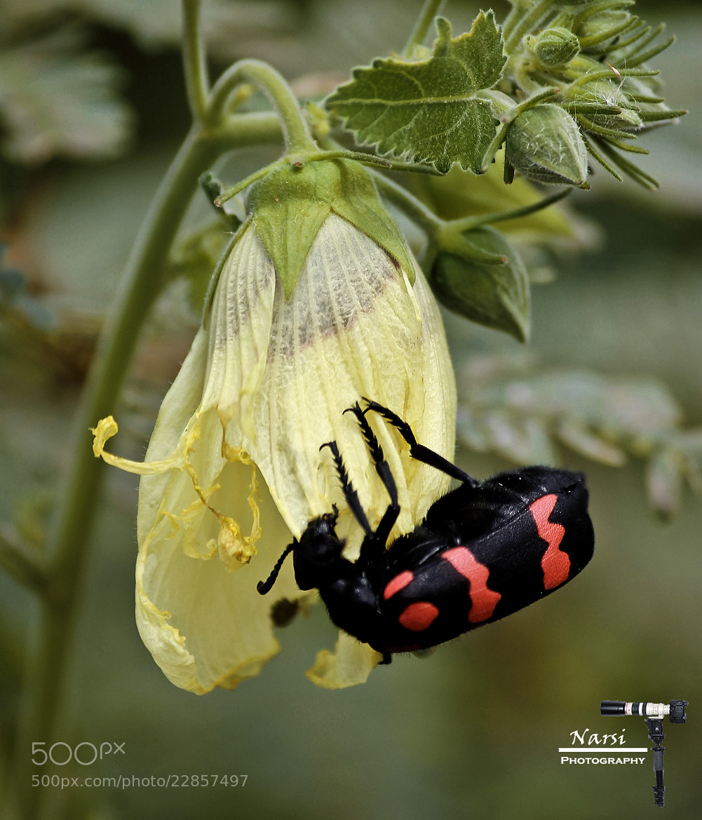"""Photograph Poisonous """"Blister Beetle"""" Busy at Work !!!!  by Narasimhan N on 500px"""