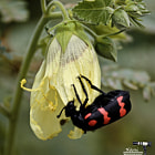 Постер, плакат: Poisonous Blister Beetle Busy at Work