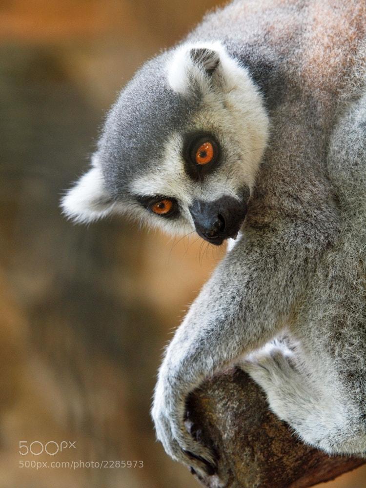 Photograph posing lemur by Irawan Subingar on 500px