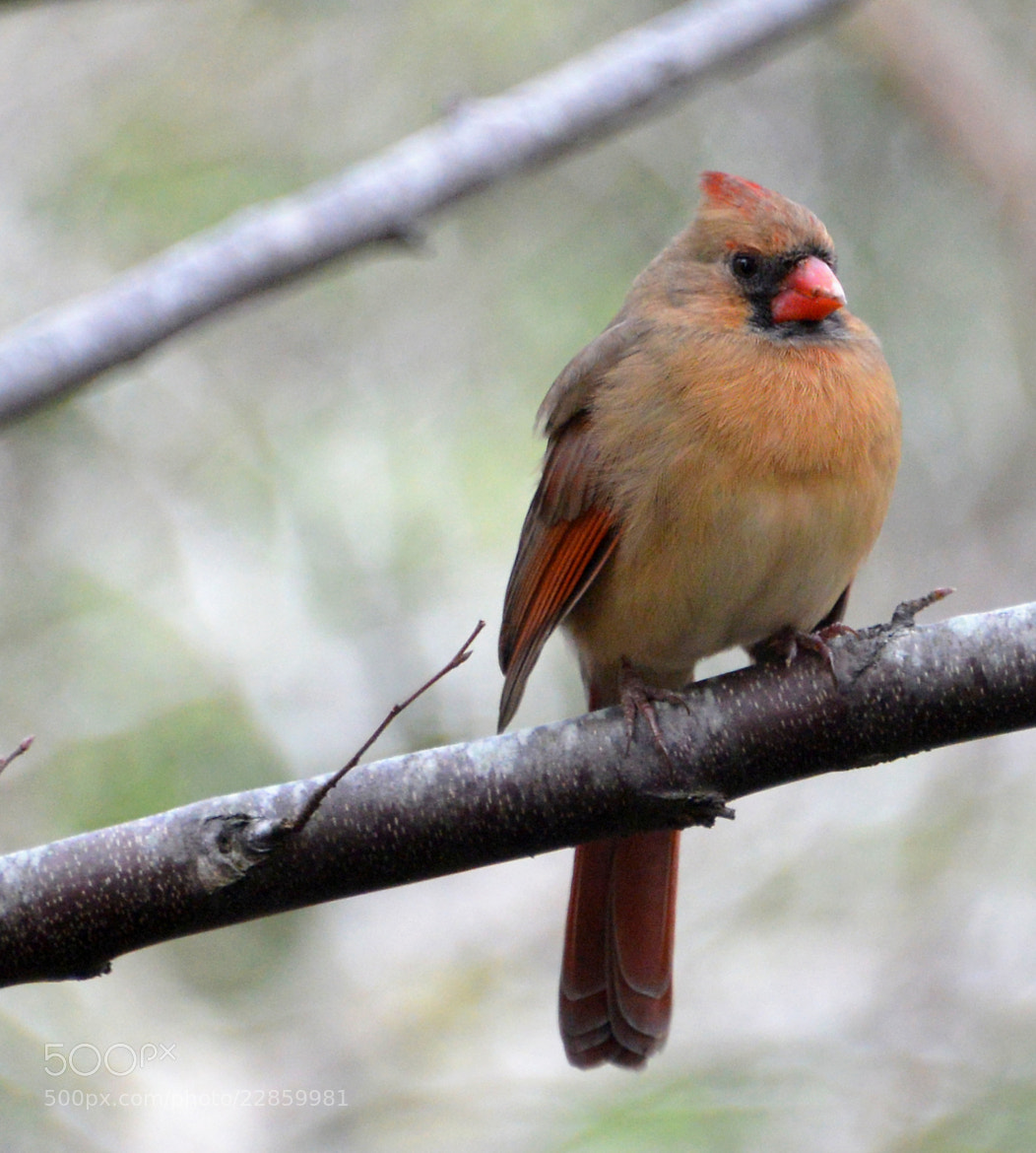 Photograph Female Cardinal - North Carolina by Mark Luftig on 500px