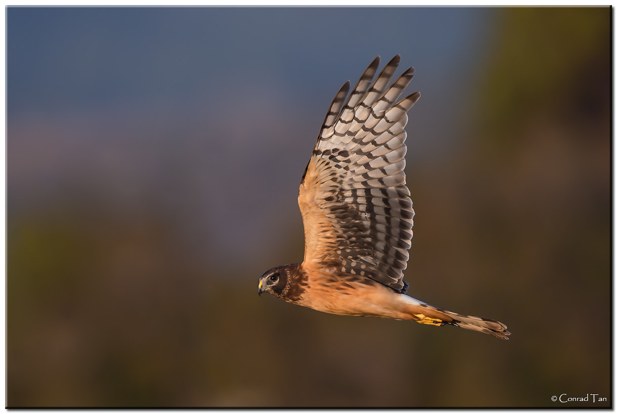 Photograph Northern Harrier by Conrad Tan on 500px