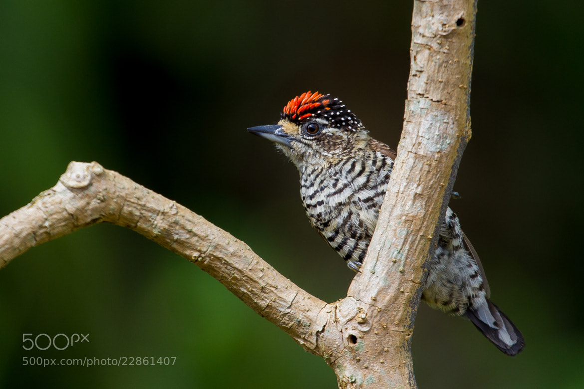 Photograph White-barred Piculet (Picumnus cirratus) Male by Bertrando Campos on 500px