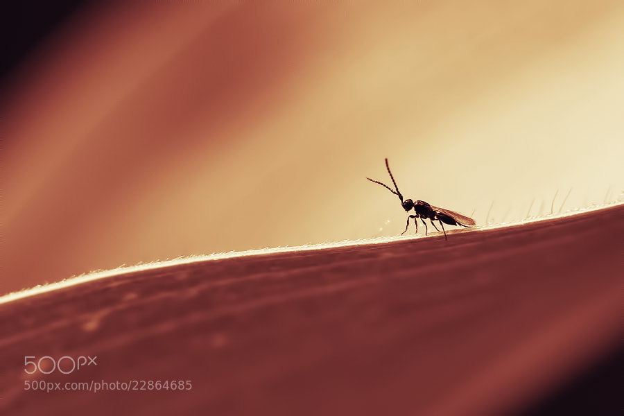 Photograph Midge by Stéphane HERBST on 500px