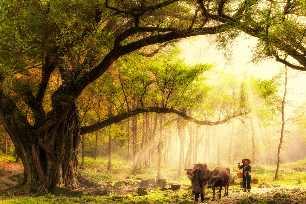 Photograph Thousand years old Banyan Tree by Justin Ng on 500px