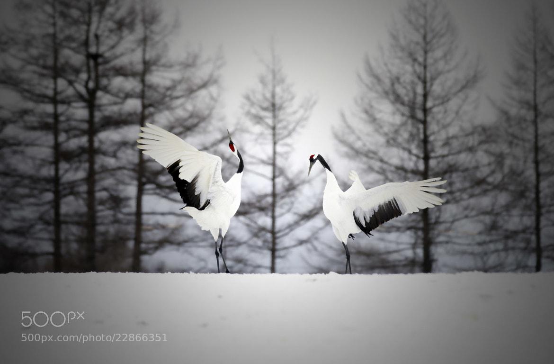 Photograph 雪原の演舞 by hirosima munetaka on 500px