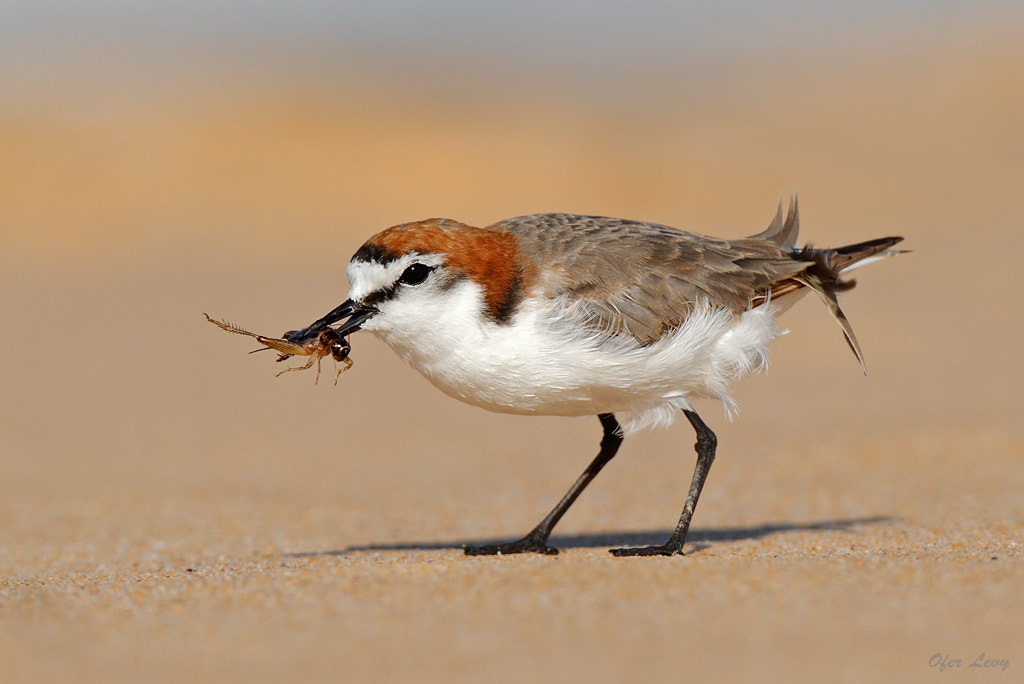 Photograph Red-capped Plover with a cricket by Ofer Levy on 500px