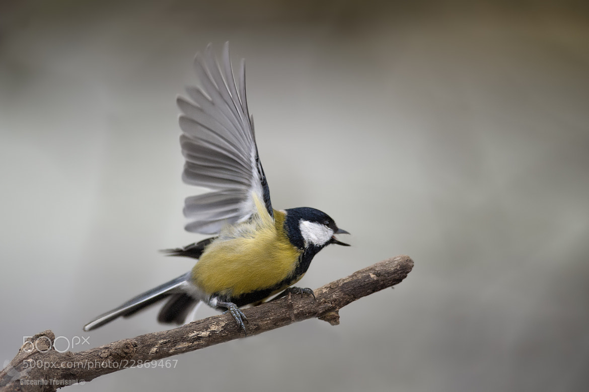Photograph great tit in the magic woods... by Riccardo Trevisani on 500px