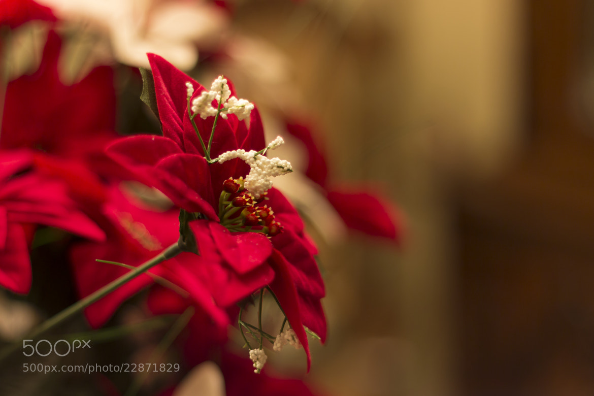 Photograph Poinsettia by John Velocci on 500px