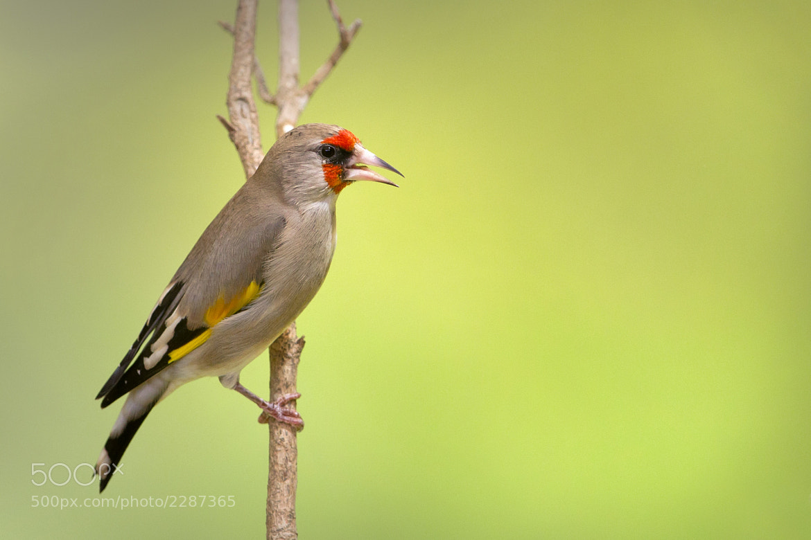 Photograph European Goldfinch Carduelis carduelis caniceps by mohammad khorshed on 500px